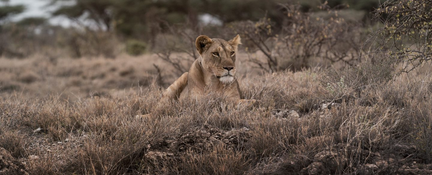 A lioness sits in a meadow of grass, her brown coat blends with the browned grass.